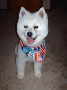 american eskimo dog grooming dog breeds picture
