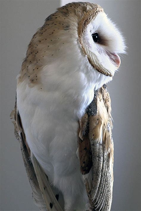barn owl research university  idaho extension