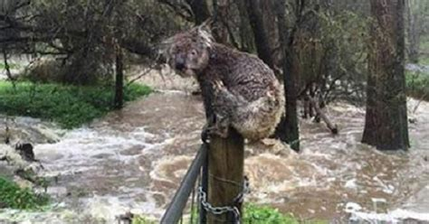 man helps soaking wet koala find safety  flood