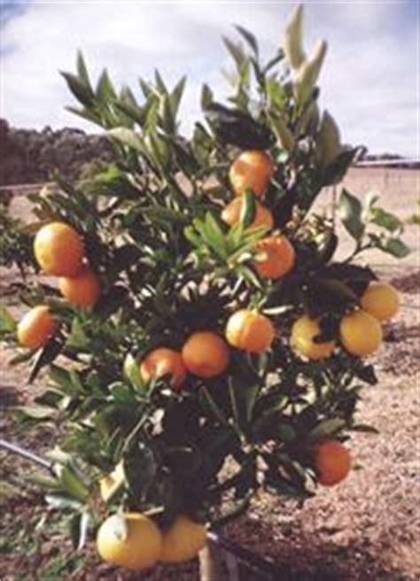 citrus salad tree food fruit cocktail tree i want one