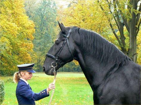 horse kladruber kladruby horses face narodni baroque lipizzan breeds mantova uploaded user czech