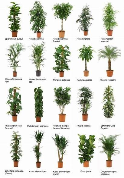 Plants Office Common Indoor Plant Trees Potted