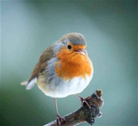 garden birds facts  kids  pets central
