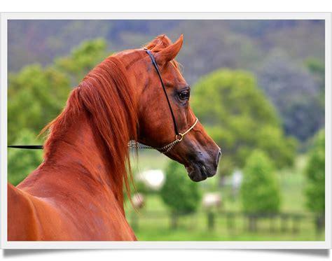 arabian horse cost konj cavalli pferde arabski horses much does arabische allevamento kopfformen colour immagini breed stallone capezza coat won