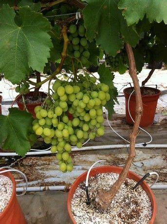 coltivare uva da tavola f lli lo giudice gela cl quot abbiamo puntato su un