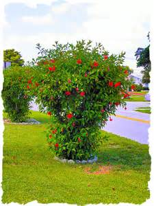 hibiscus tree height images