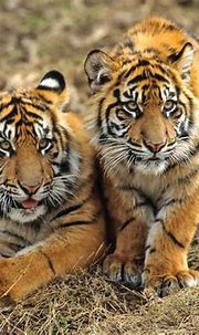 Deforestation Leaves Sumatran Tigers Dangerously Close To ...
