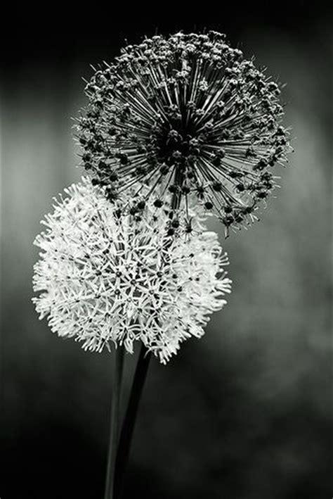 autumn background beautiful black  white dandelions