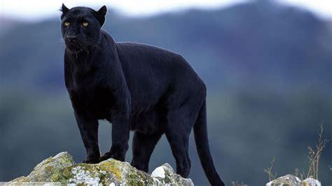 Black Panther Animal Wallpaper - wallpaper animals nature wildlife big cats black