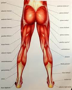 Lower Extremity Muscles