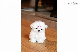 Newborn Teacup Maltese Puppies images