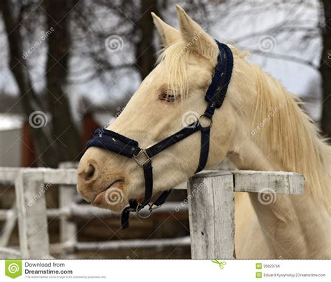 horse albino royalty  stock image image