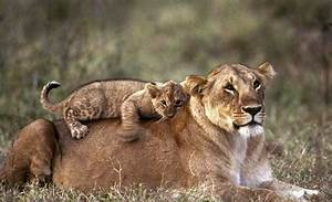Mummy's boy! Cub lays on back of lioness after a hard day ...