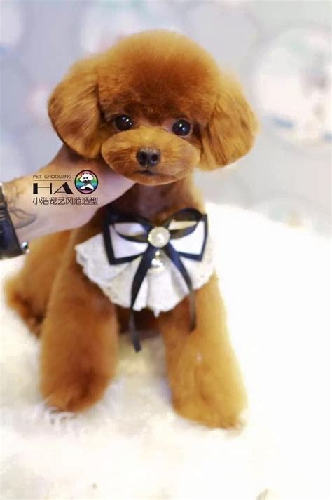 poodle grooming ideas  pinterest poodle cuts