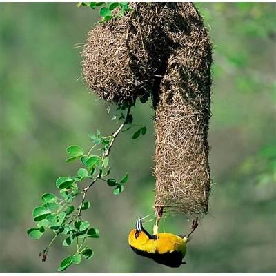 Nature Blows My Mind! Weaverbirds Craft Amazing Nests