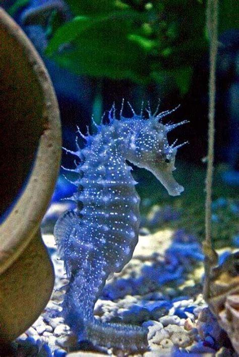 seahorses seahorse mate fish monogamous male species genus animals unborn