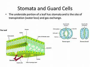 Plant Structure (Leaves, Stems, Roots) - ppt video online ...