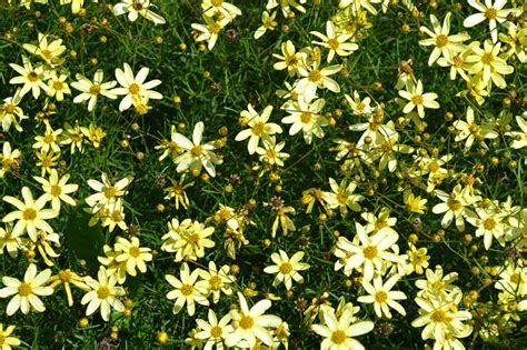 small perennials moonbeam coreopsis is a perennial that produces small yellow flowers