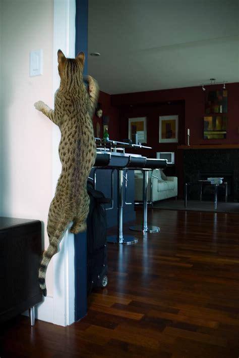 ashera cat climbing  wall  rarest domestic cat flickr