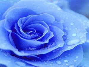 wallpapers: Blue Rose Wallpapers