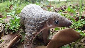 Wildlife of the World: Pangolin Animal Facts & Images 2013