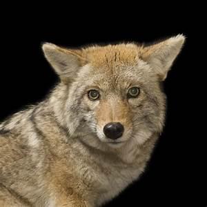 Coyote Radar Gratuit : coyote ~ Medecine-chirurgie-esthetiques.com Avis de Voitures