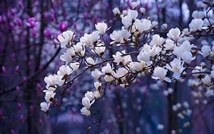 Scarica sfondi fiore di primavera i ciliegi in fiore