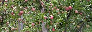 Apple Tree Pruning  A Guide To Perfect Timing