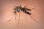 Aedes albopictus - Wikipedia