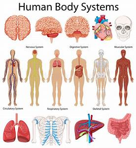 Diagram Showing Human Body Systems Stock Vector