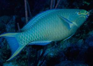 From, Despair, To, Repair, Protecting, Parrotfish, Can, Help, Bring, Back, Caribbean, Coral, Reefs