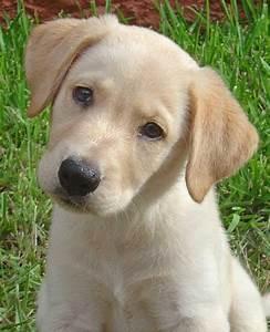 Pets  Labrador