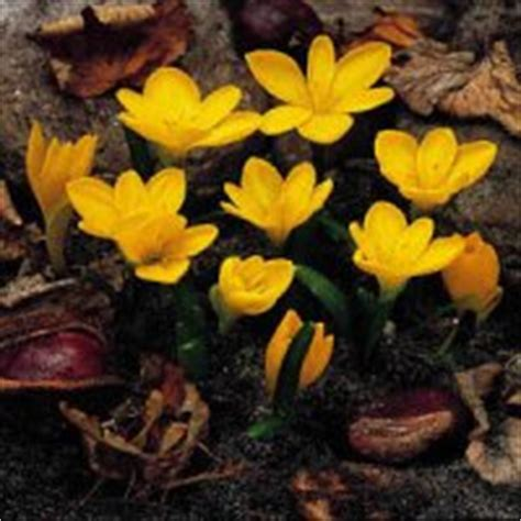 fall blooming crocus flower gardens for everyone plant