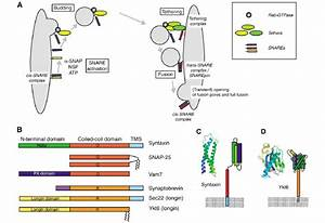 Snare Function In Trafficking And Snare Domain Structure