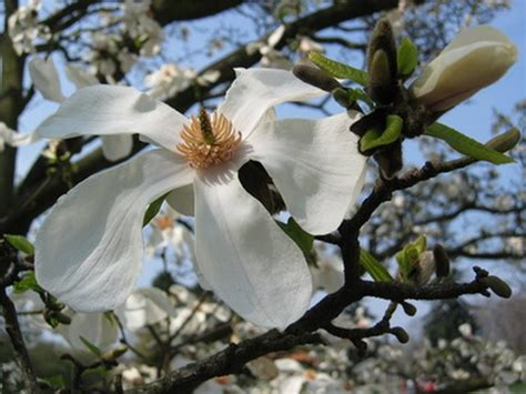 alabama flowering trees hunker