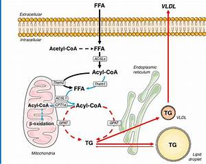 Schematic Model Of Them1 Function In Hepatocellular Fatty Acid