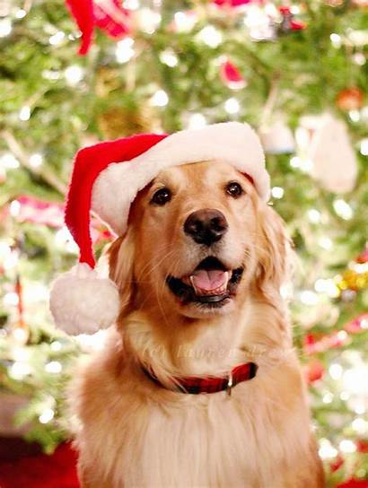 Retriever Dog Christmas Wallpapers Puppies Christman Golden