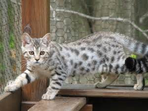 white bengal cat white bengal so freaking adorable cats