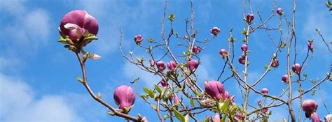 magnolia tree when to plant growing a magnolia tree in arizona mesa queen creek gilbert