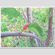 Singapore Plants Lover Mulberry Tree
