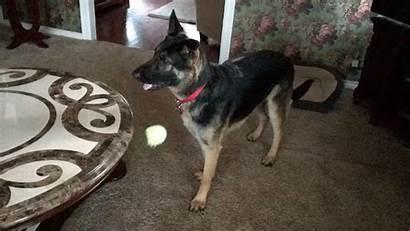 Dog German Shepherd Ball Mix Dogs Storyful
