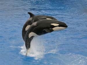 Warum Heien Orcas Auch Schwertwale