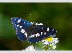 Fragili Ali di Farfalla Colli Euganei
