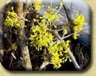 Busch Mit Gelben Blüten : bl tenstr ucher ~ Frokenaadalensverden.com Haus und Dekorationen