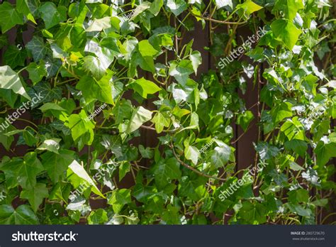 Climbing Ivy Green Leaves Covering Rustic Stock Photo