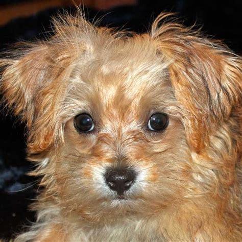 Similiar Yorkie Poo Pups Keywords