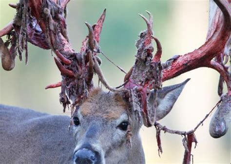 Deer Shedding Velvet Bleeding by 10 Awesome Photos Of Deer Shedding Their Velvet Pics