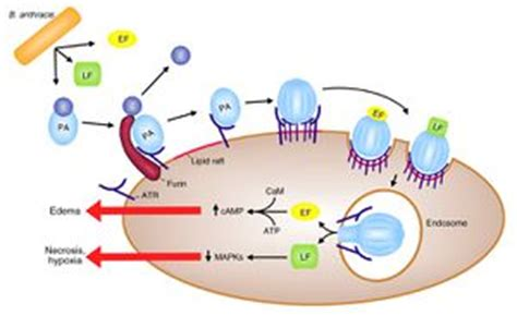 Anthrax Bacterium Diagram by Bacillus Anthracis Anthrax Lethal Toxin Microbewiki