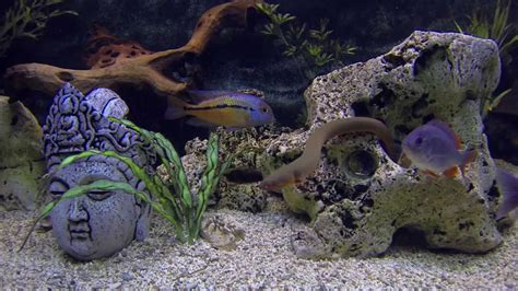 aquarium poisson cichlid 233 gopro plong 233 e aquarium eau douce