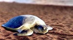 "Flatback Sea Turtle – ""OCEAN TREASURES"" Memorial Library"